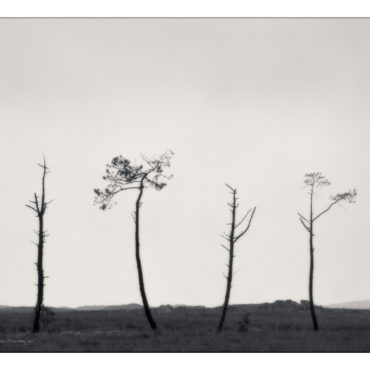 Four pines, Connemara, Ireland